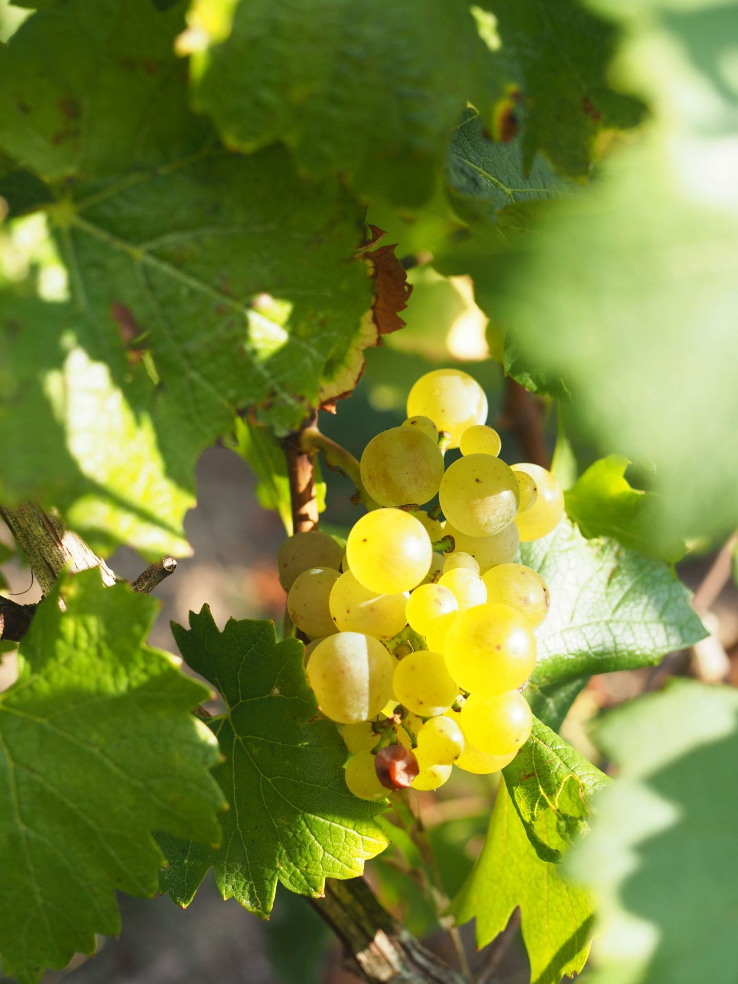Chardonnay Champagne Grapes