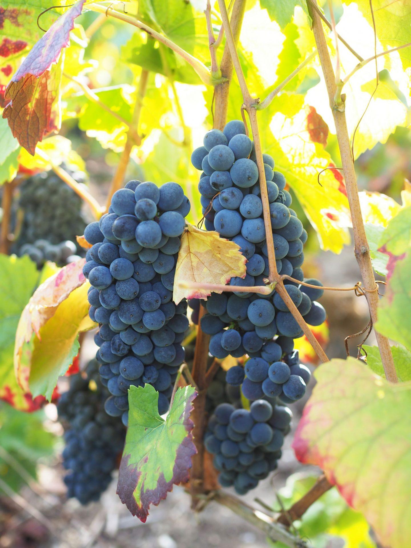 Pinot Noir Champagne Grapes