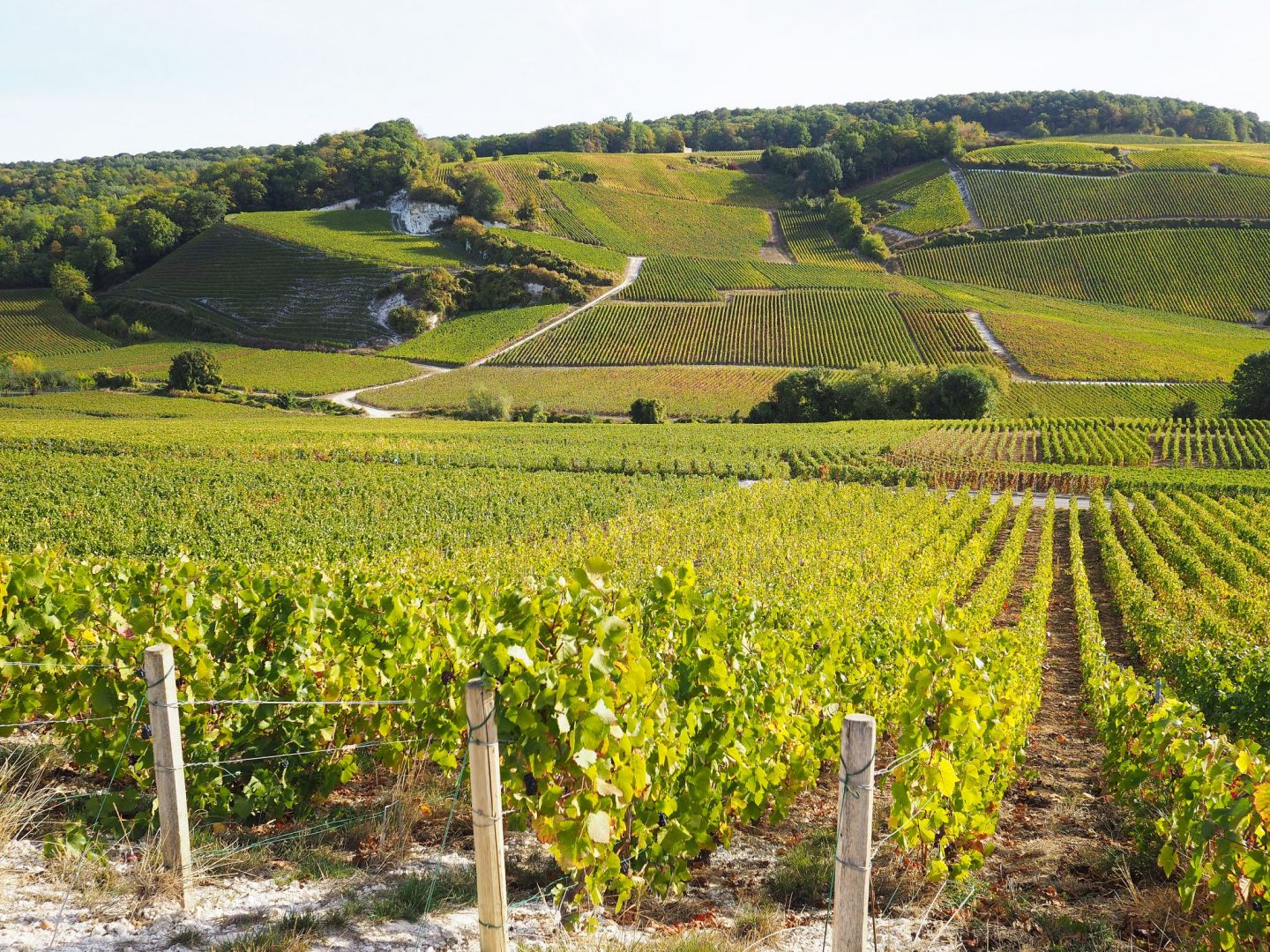 Grapes & Vineyards of Champagne Region