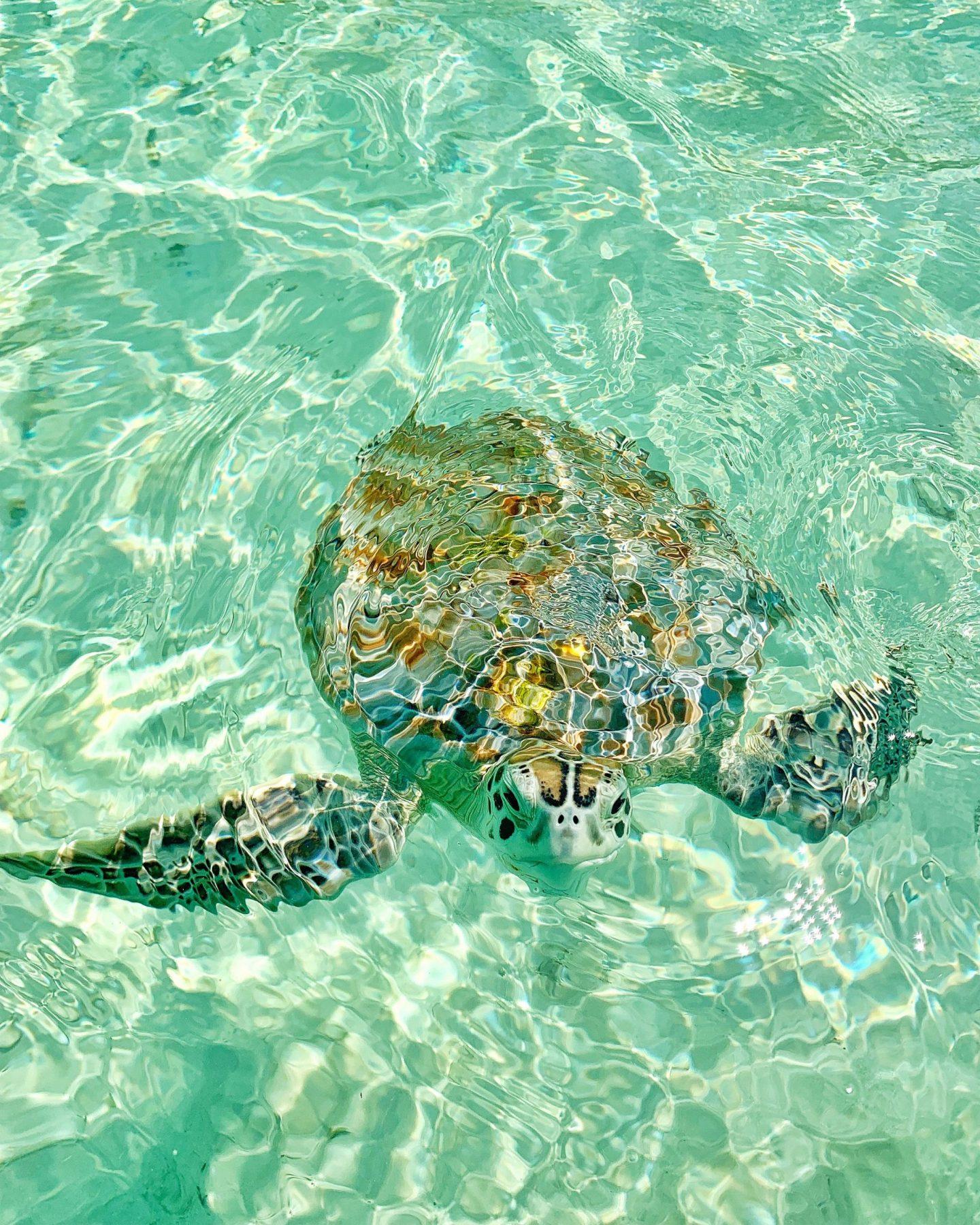 Wild Sea Turtles, The Bahamas